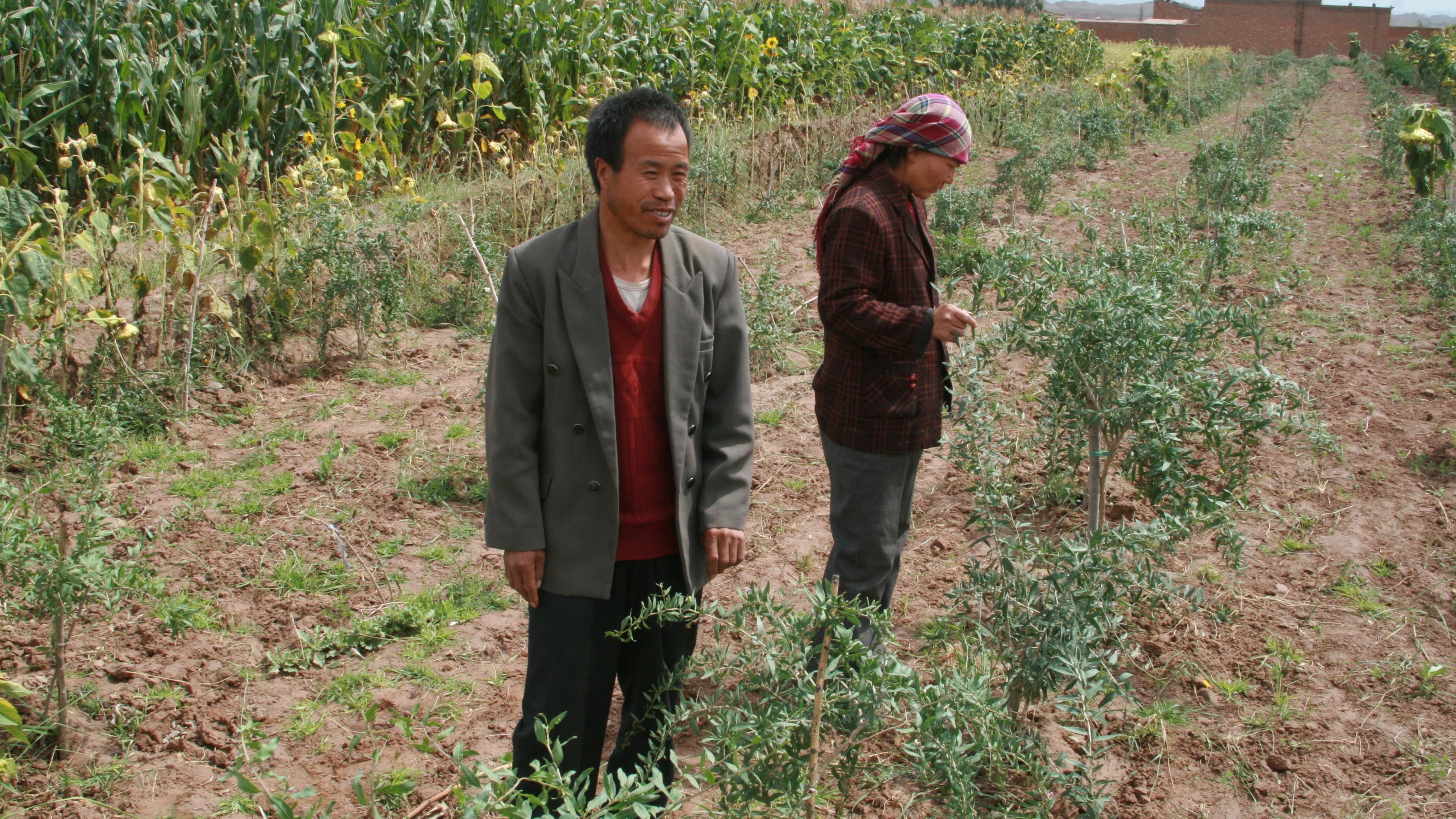 Li Zhuang und seine Frau auf ihrem Feld mit Goji-Beeren.