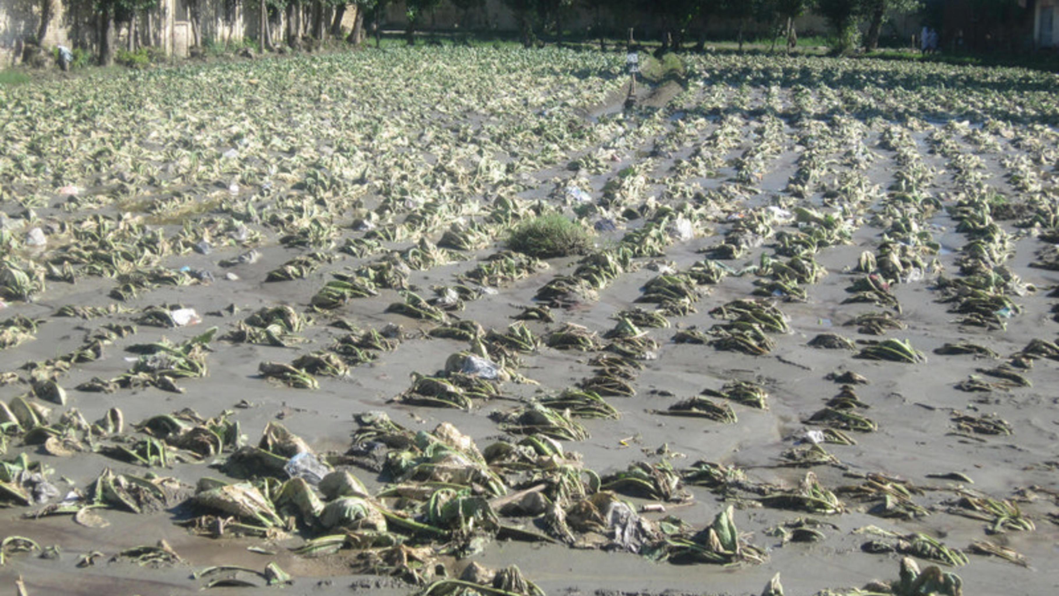 Foto: Die Wassermassen haben Felder und Ernten zerstört, Swat, Pakistan.