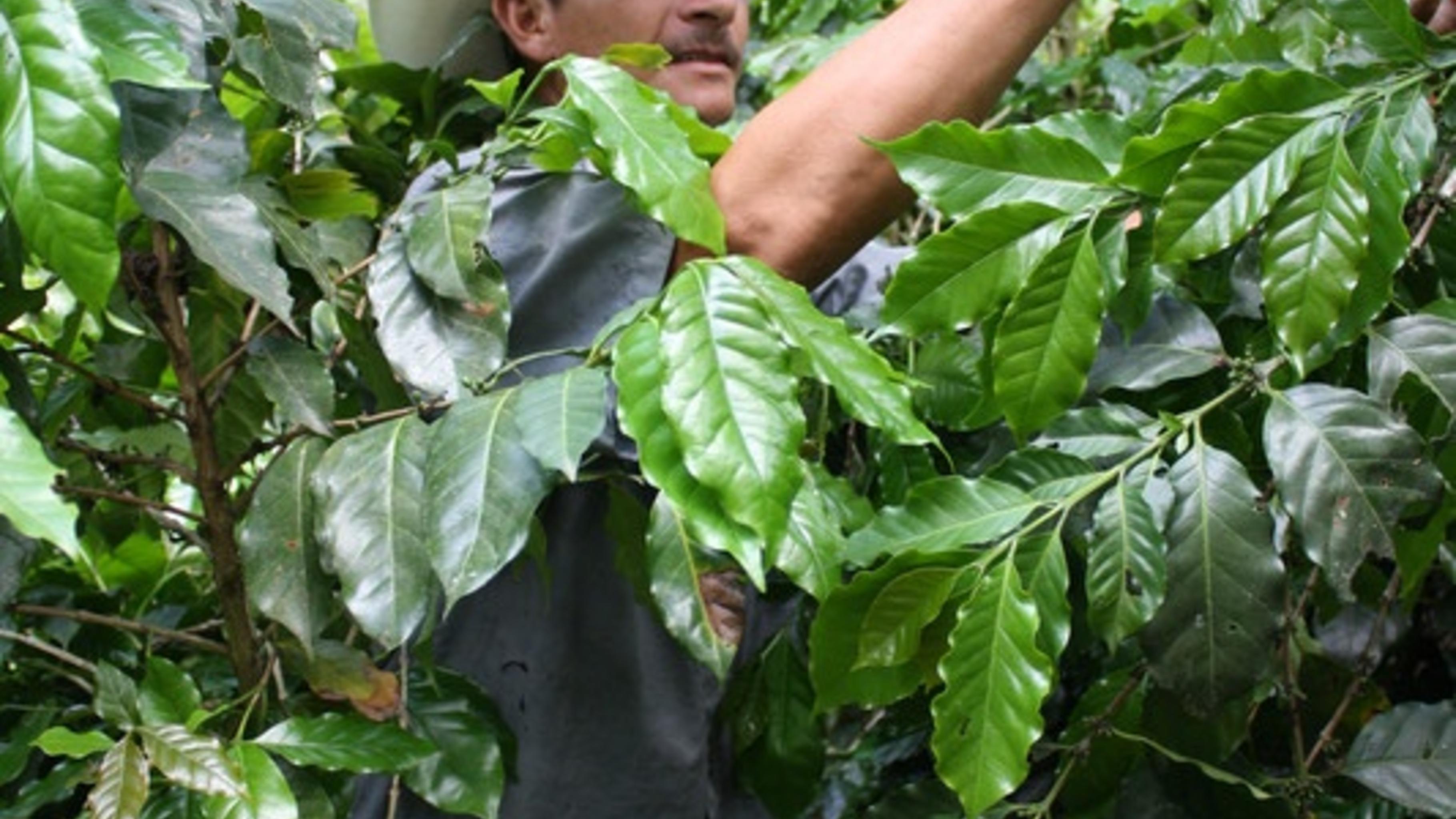 Der Kaffeeanbau ist durch steigende Temperaturen in Gefahr.