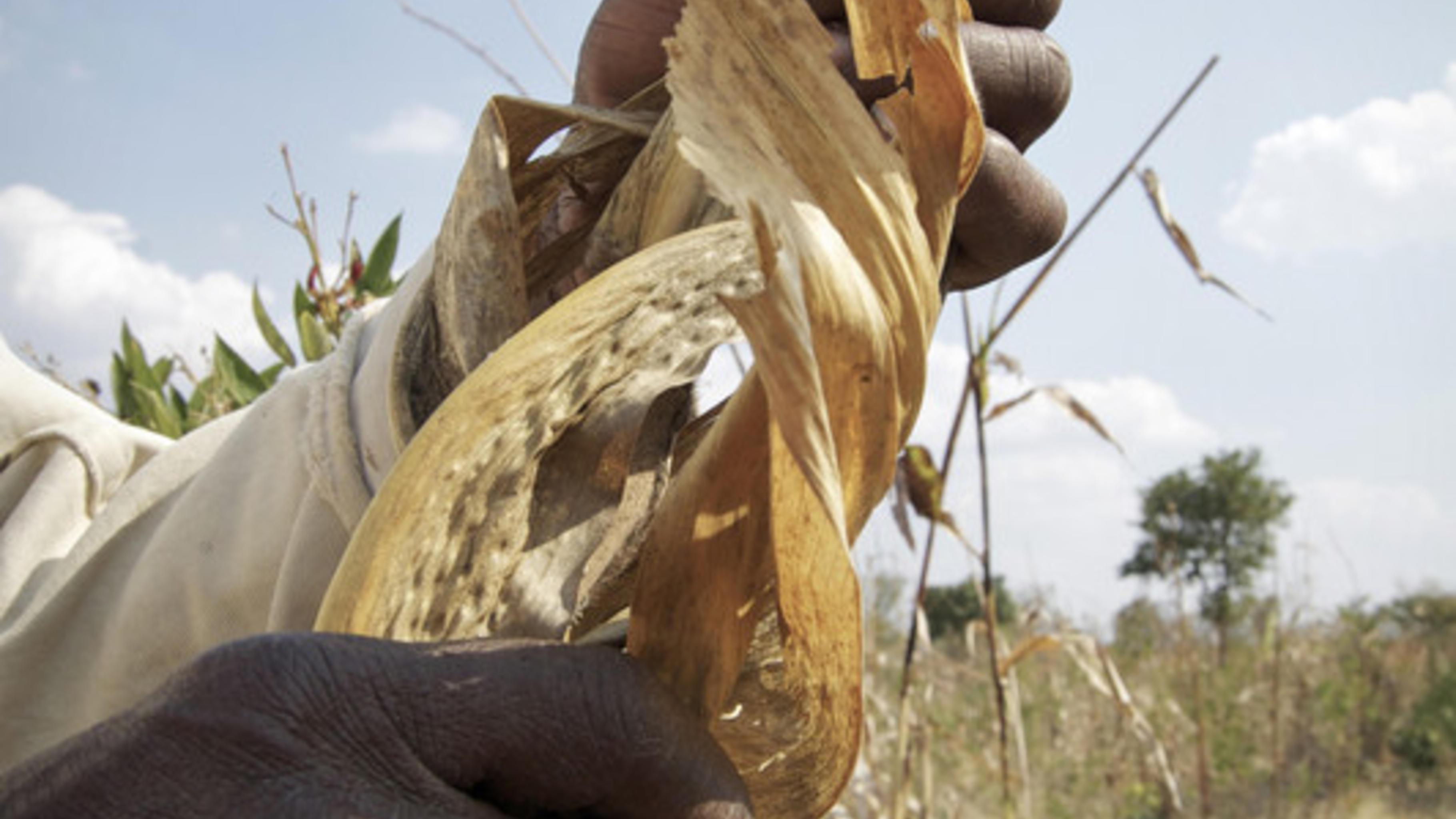 Verdorrter Mais auf einem Feld in Malawi.