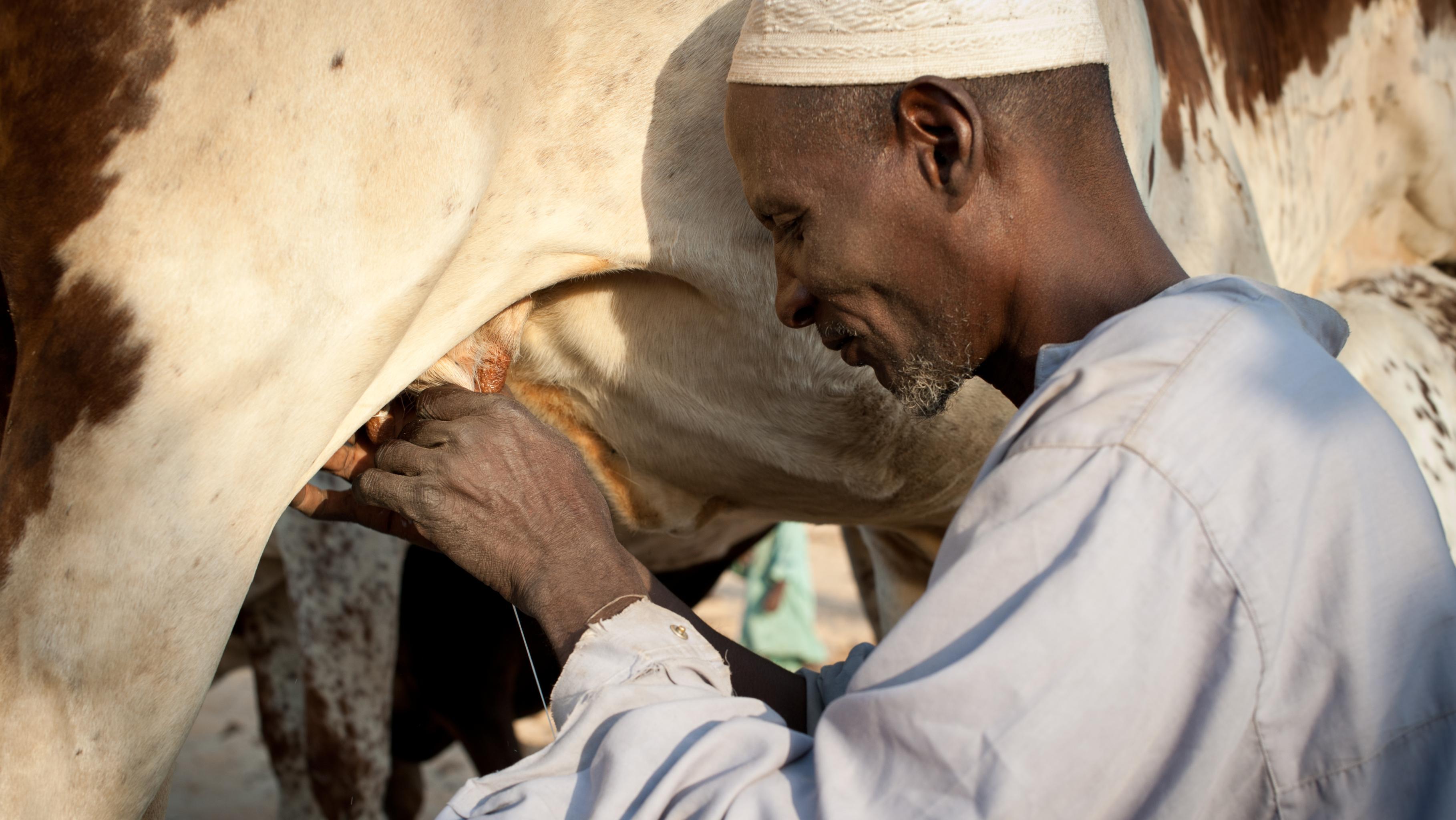 Ein Bauer melkt eine Kuh. Der Großteil der Bevölkerung im Tschad lebt von Landwirtschaft und Viehzucht.