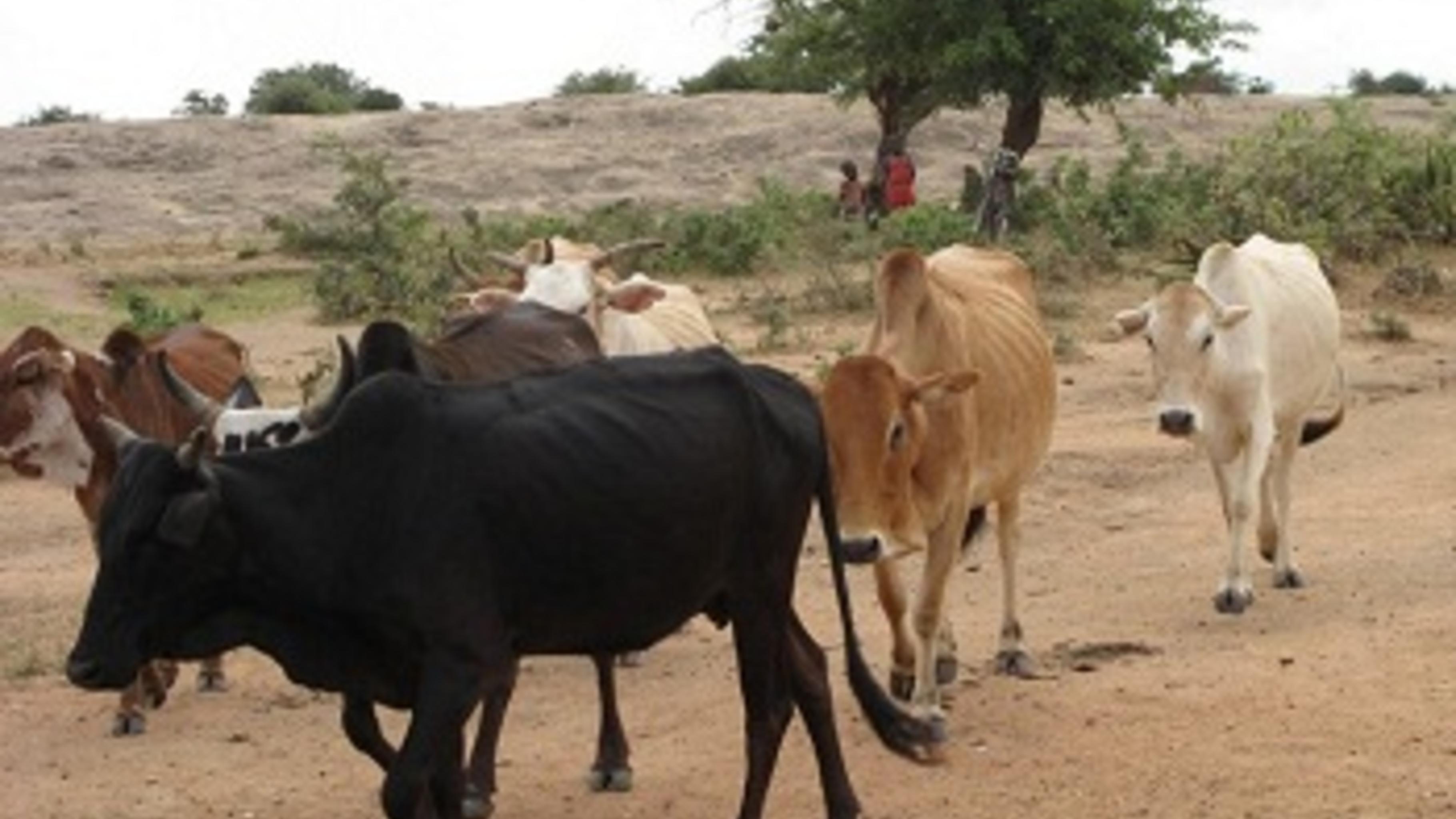 Viehhaltung ist schwierig geworden in der Region Karamoja. © Caroline Gluck/Oxfa