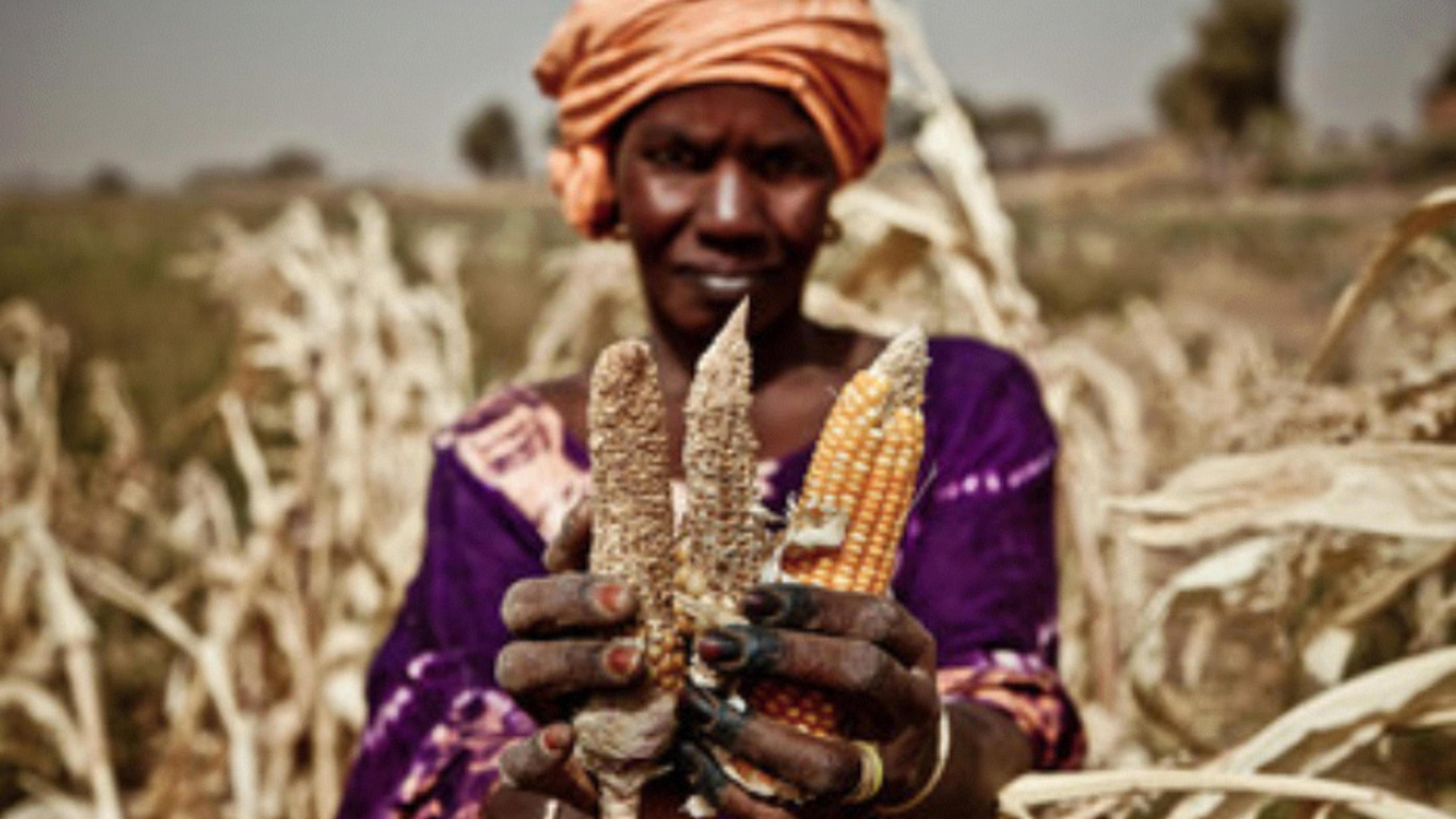 Mangelnder Regen lässt die Maisfelder vertrocknen.