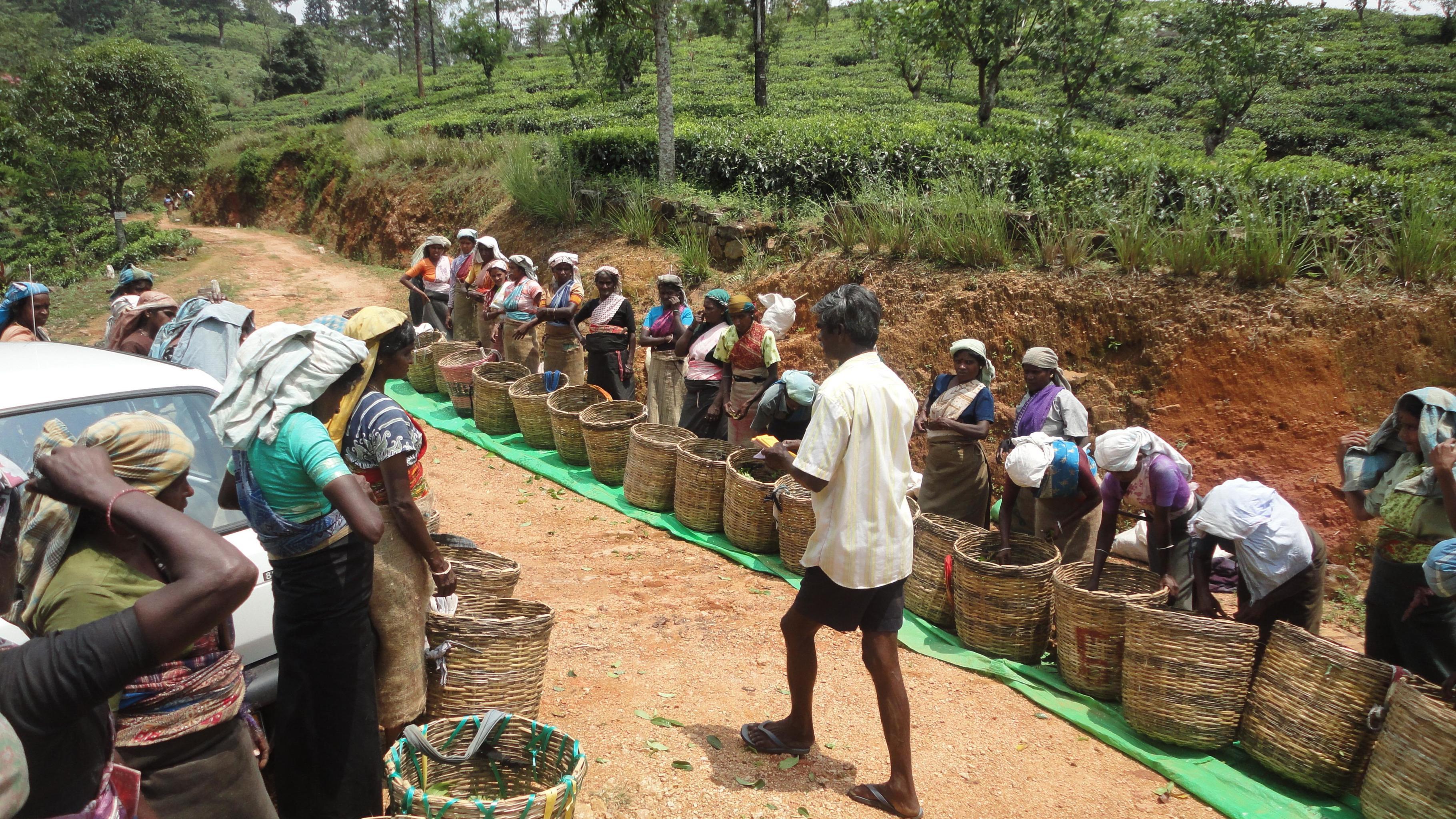 Plantagenarbeiterinnen warten, um ihre gepflückten Teeblätter wiegen zu lassen.