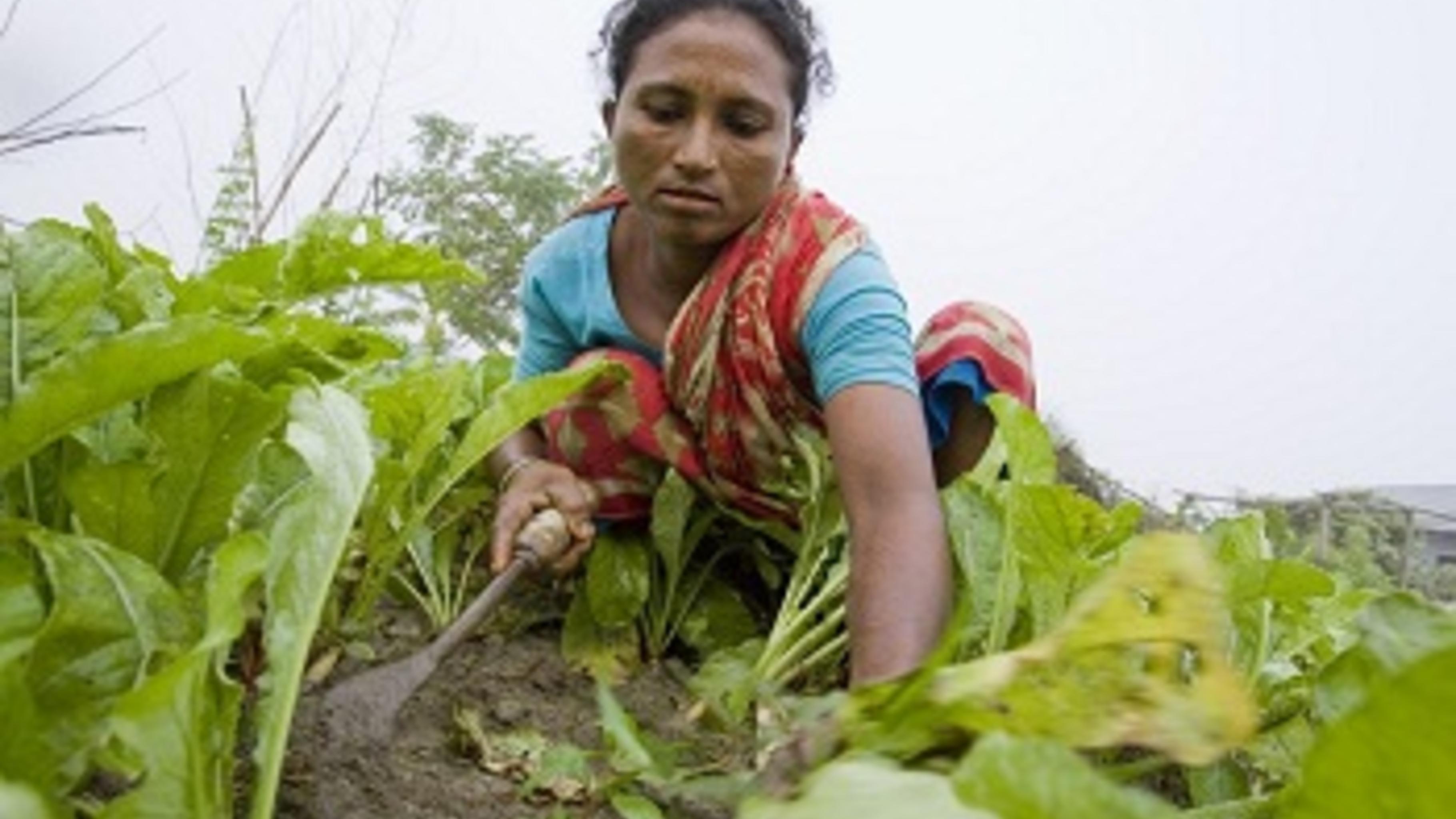 Die häufigen Überschwemmungen zerstören Hasina Begums Gemüsegarten