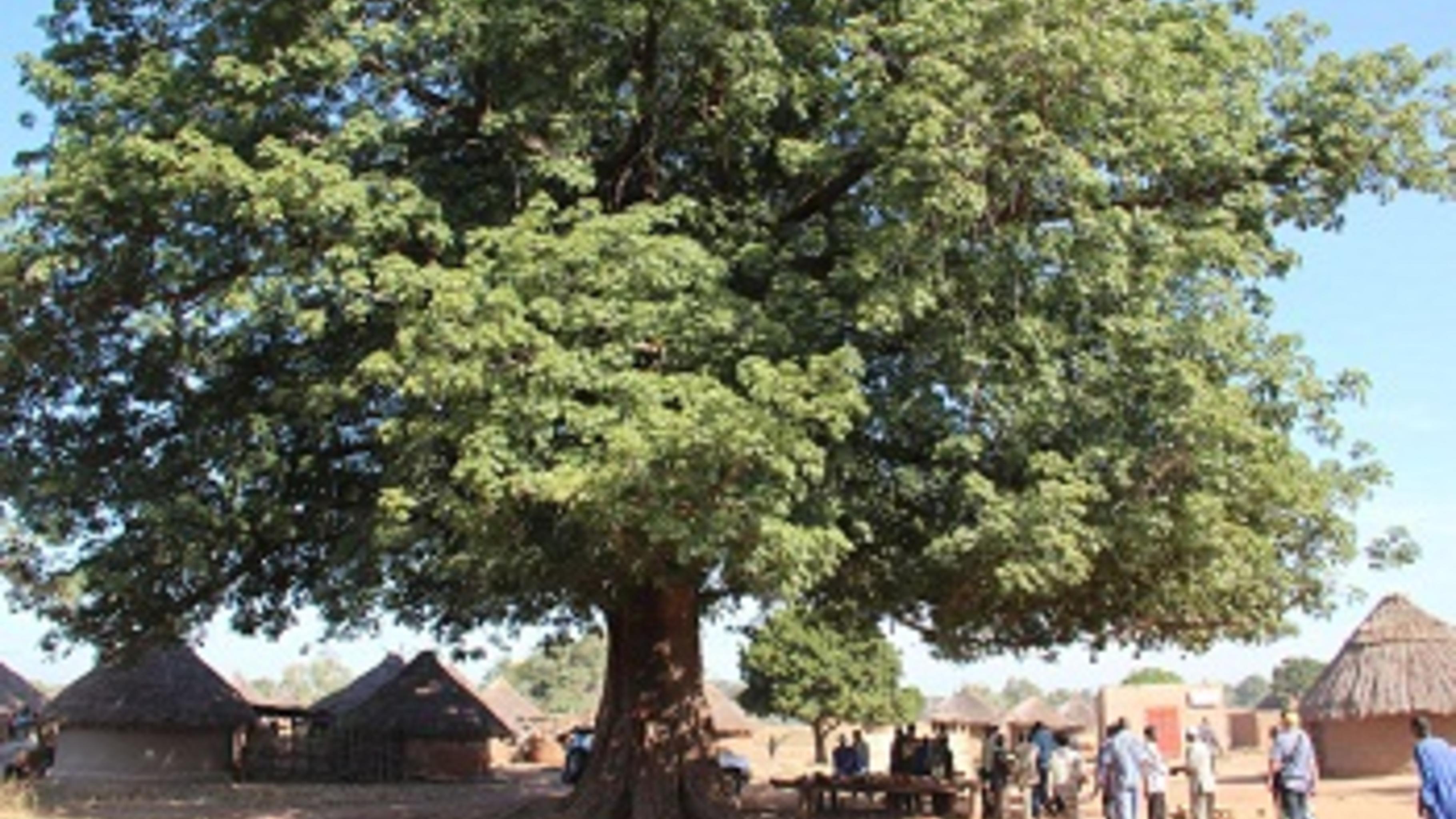 Der Palaver-Baum des malischen Dorfes Bagnafatata.