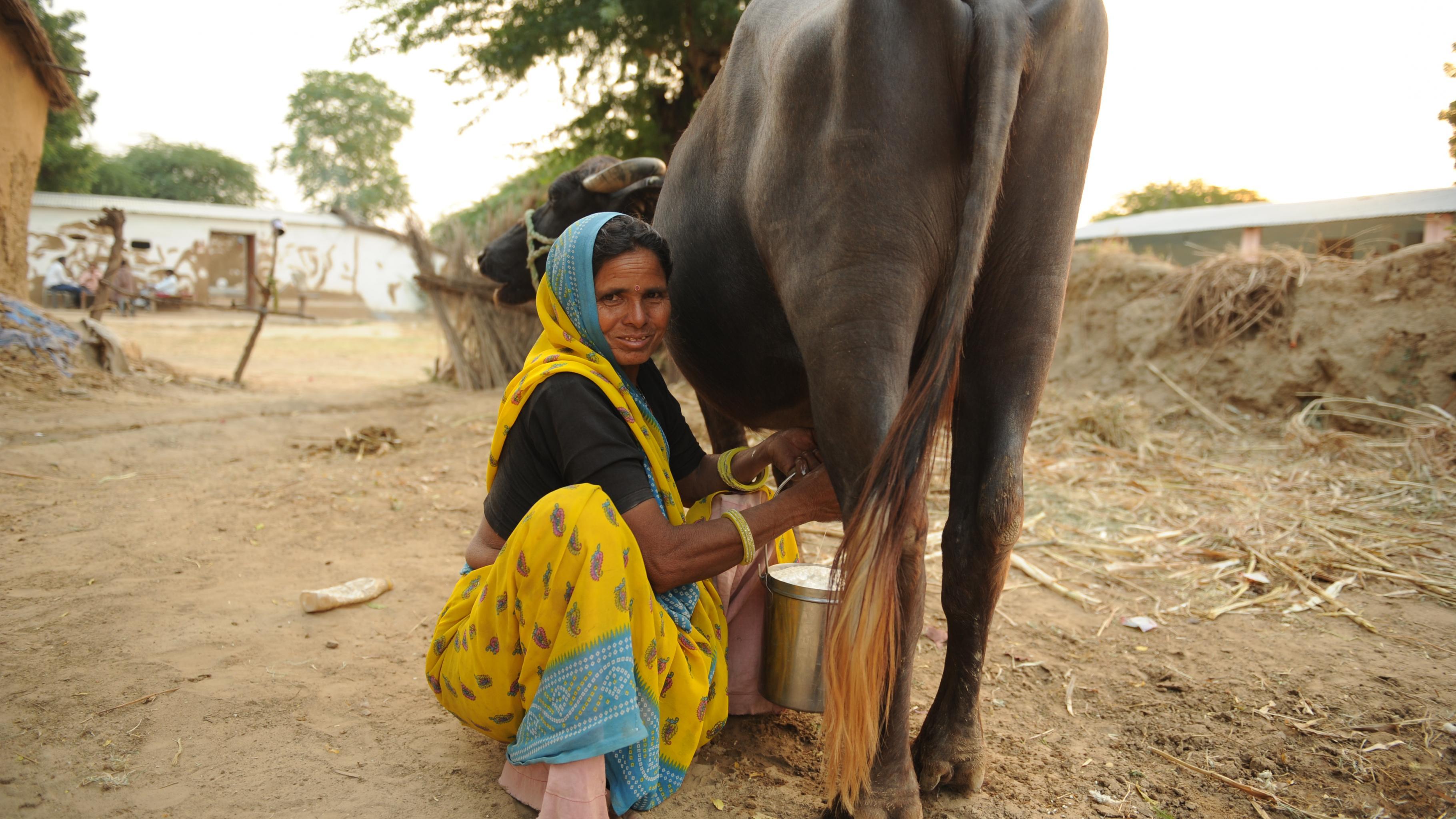 Prabhati Devi melkt ihre Wasserbüffelkuh.