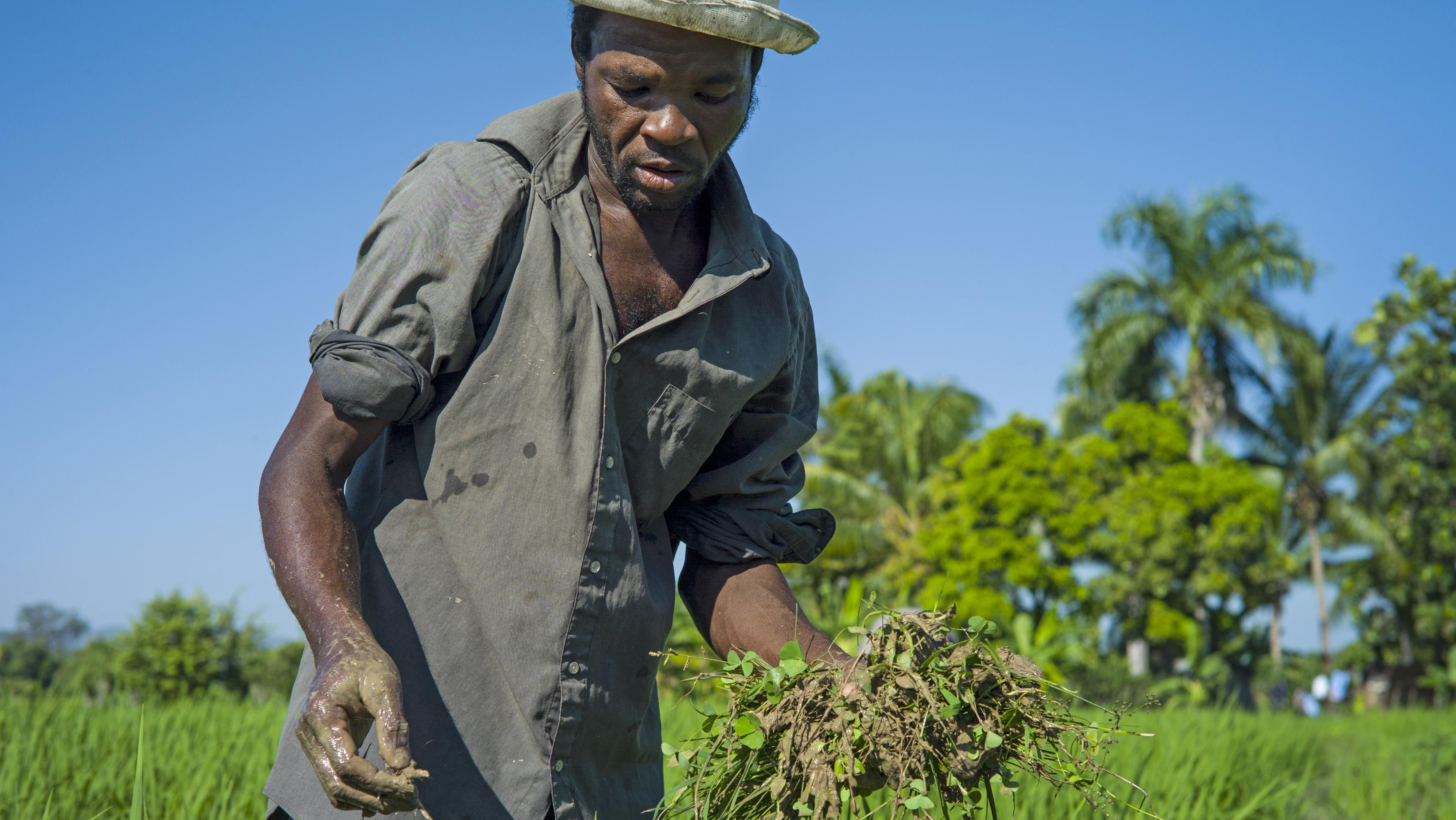 Ein haitianischer Arbeiter jätet Unkraut auf einem Reisfeld.