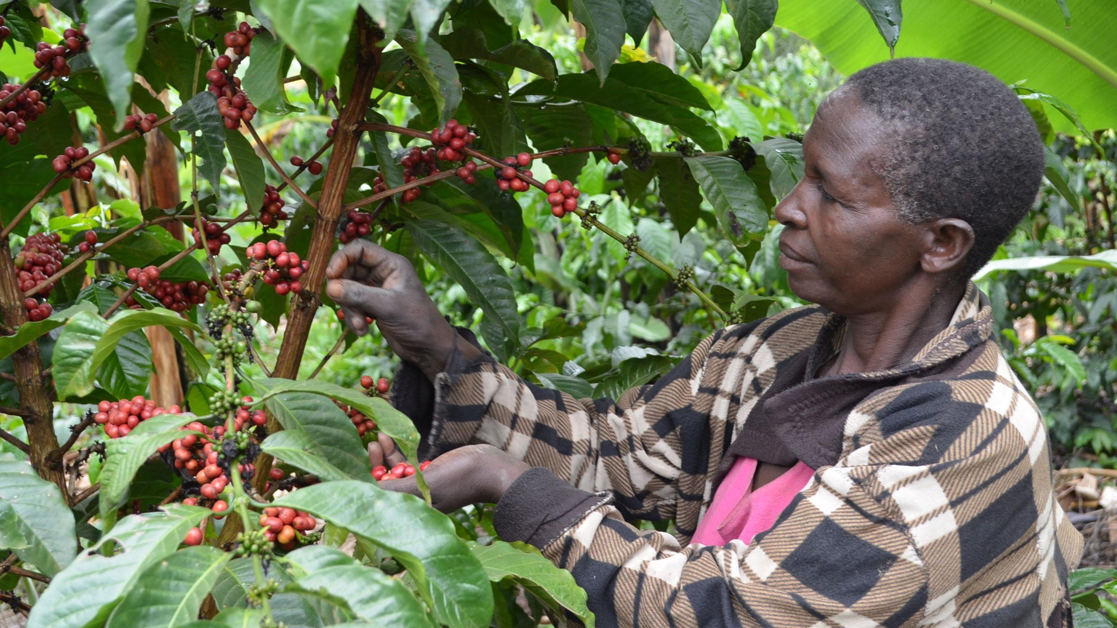 Eine Frau pflückt die Früchte einer Kaffeepflanze