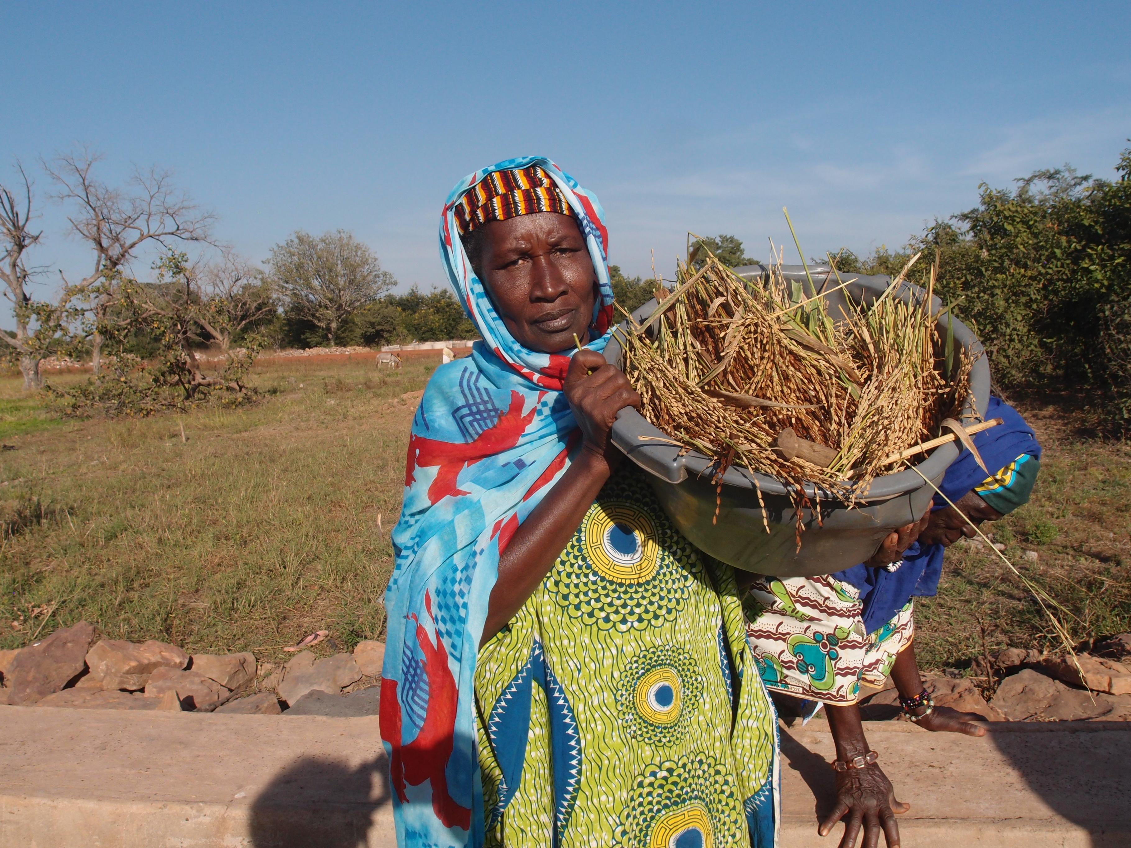 Frau mit Reispflanzen: Reisanbau in Kita in Mali