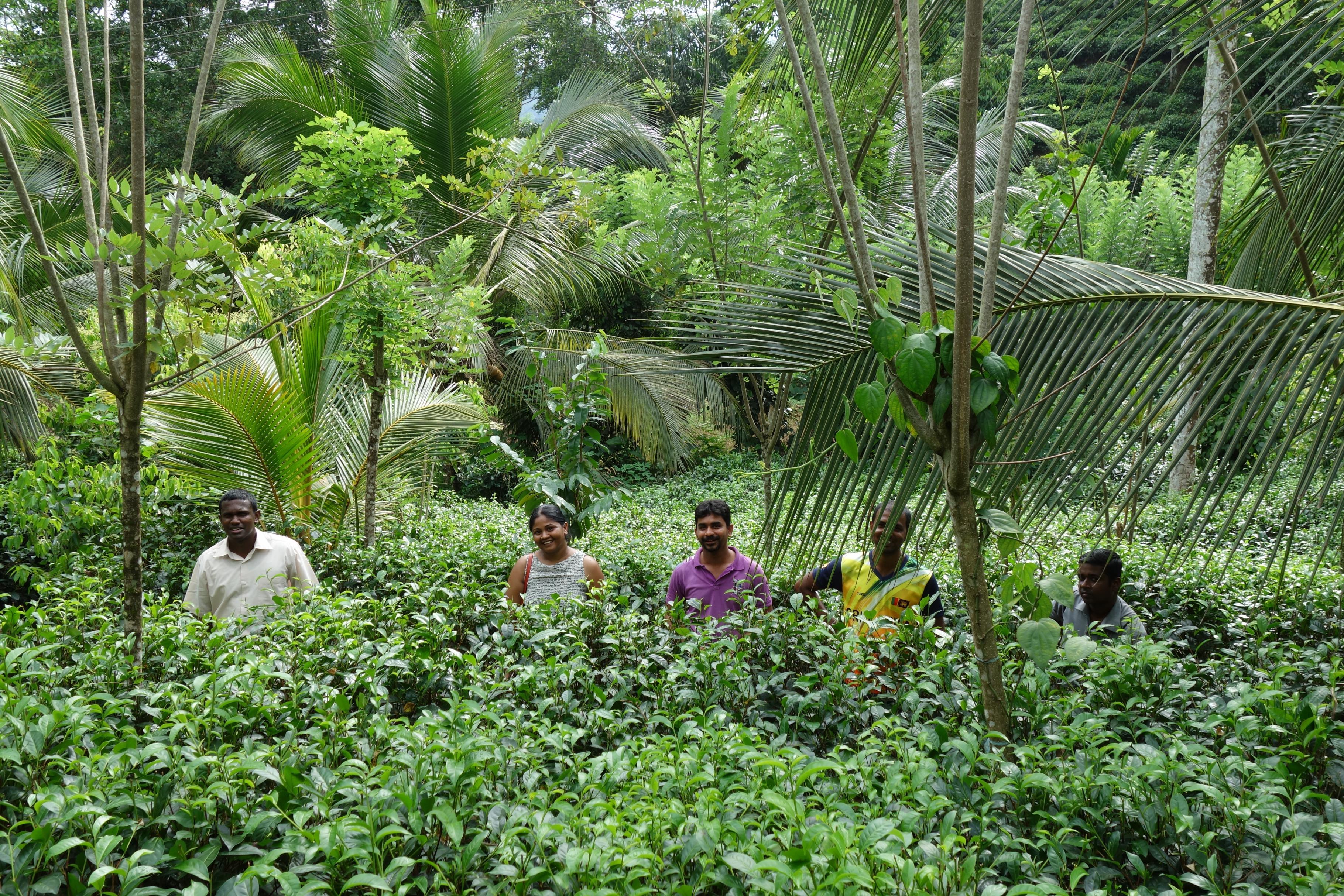 Teeanbau im Regenwald Sri Lankas
