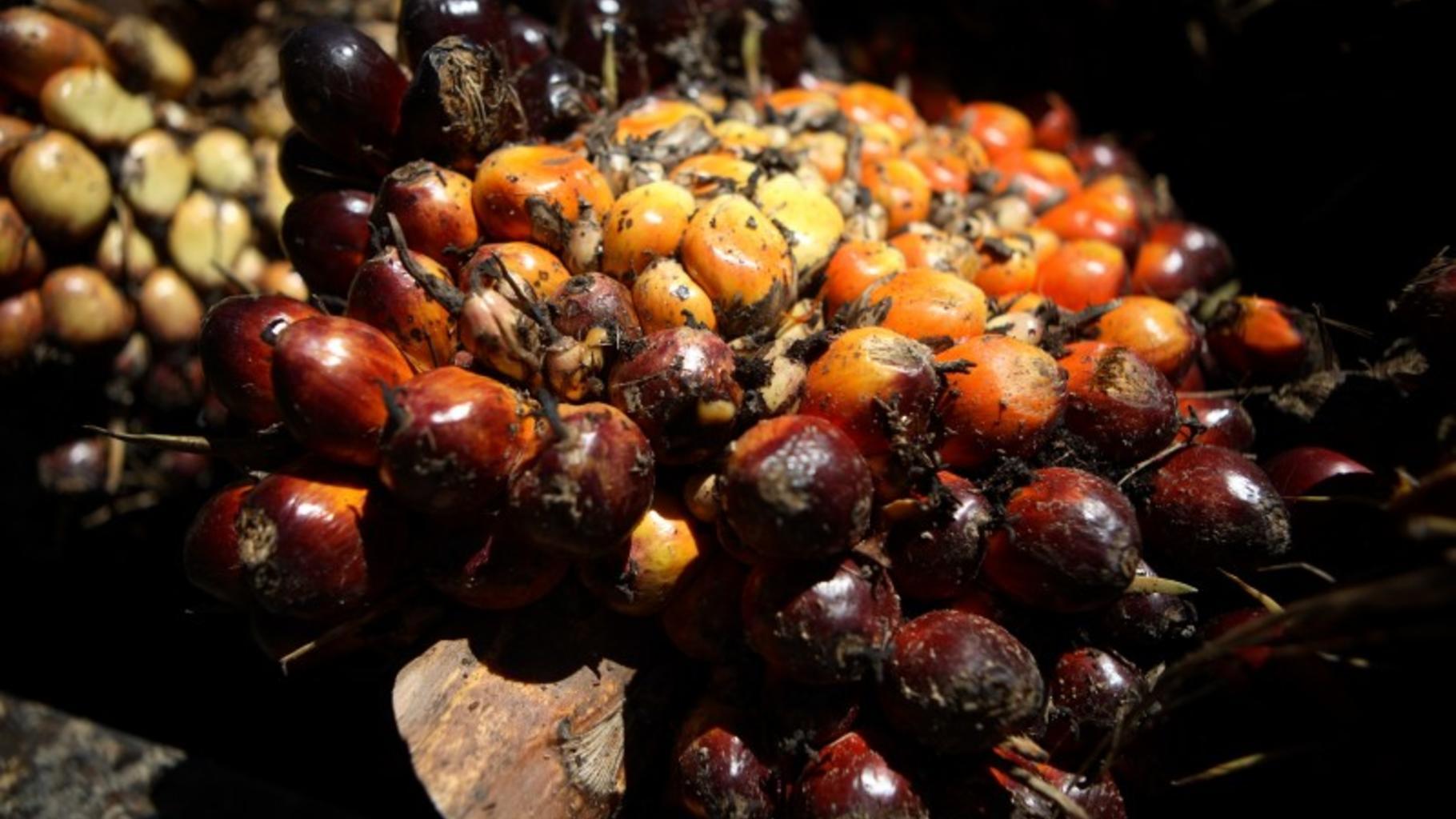 Palmenfrüchte sind das Rohmaterial für Palmenöl. © Tom Greenwood/Oxfam GB