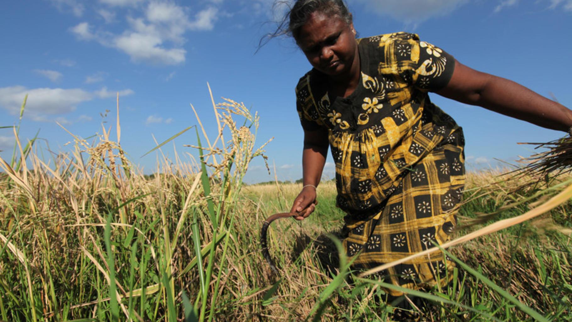 Rasmala, eine Frau aus Sri Lanka, arbeitet auf dem Feld.