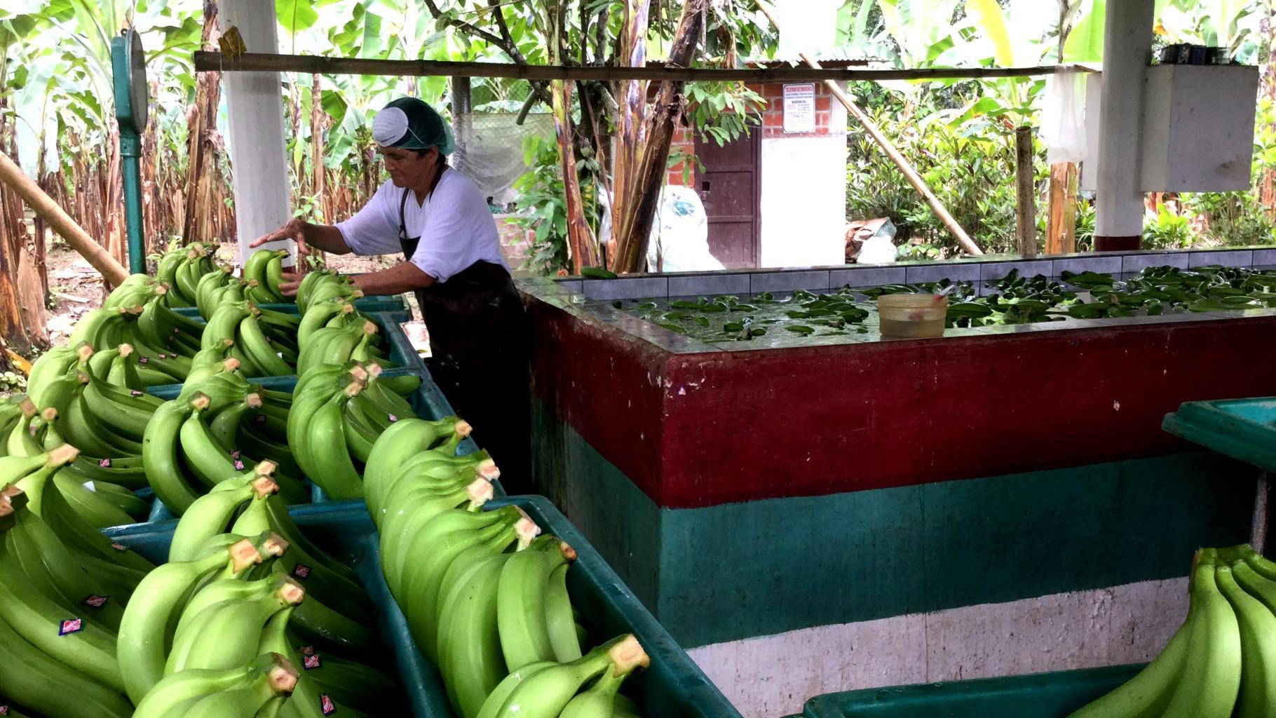 Eine Arbeiterin auf einer Bananenplantage in Ecuador