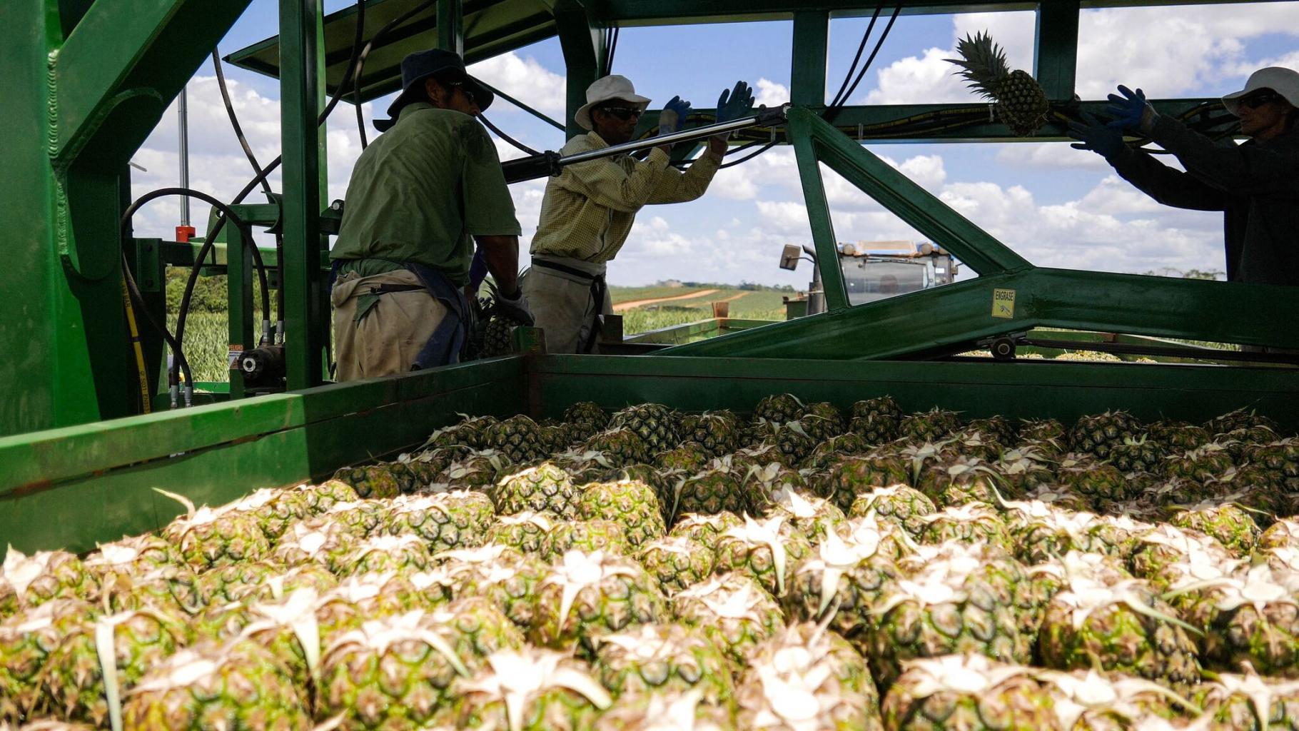 Arbeiter auf einer der Ananasplantagen