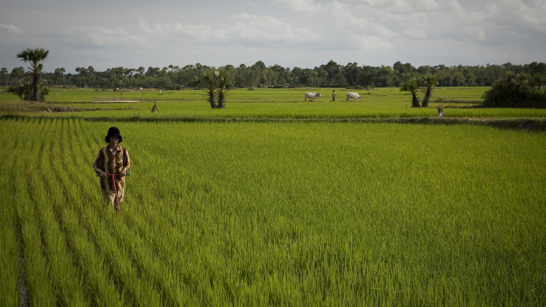 Eine Frau geht mit einem mechanischen Unkraut-Jäter durch ein in geraden Reihen bepflanztes Reisfeld.