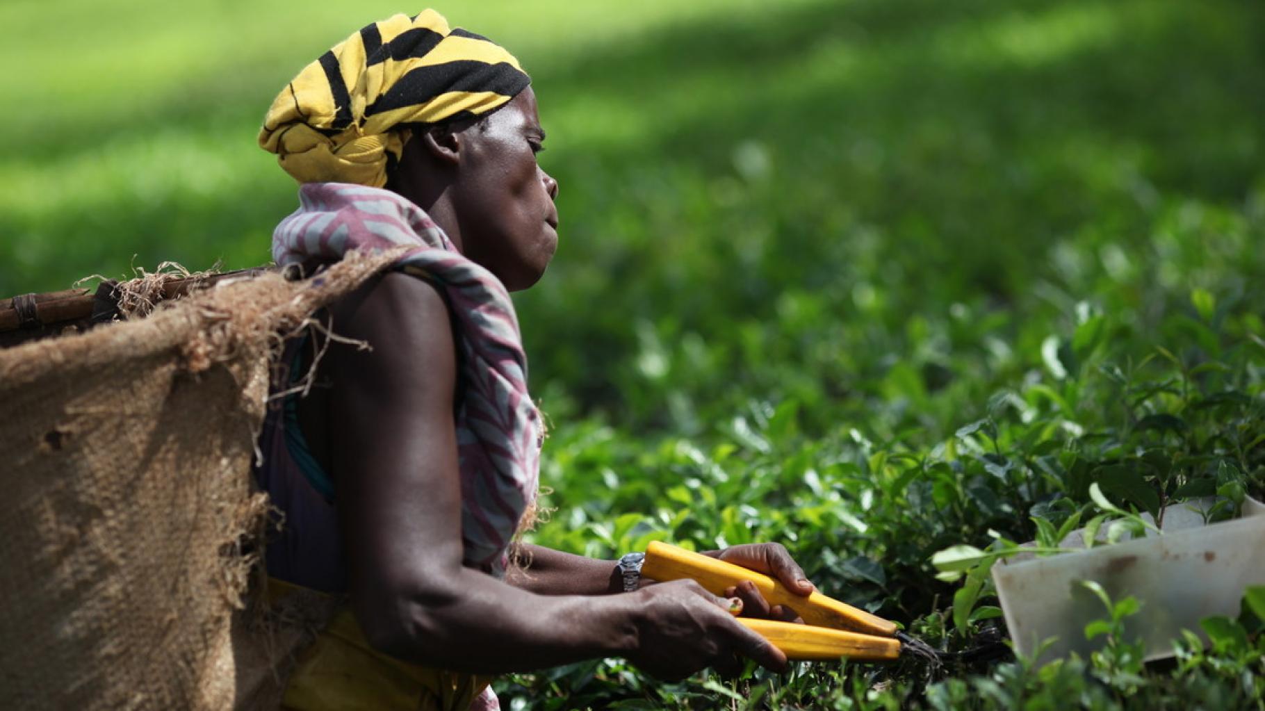 Teepflücker/innen in Mulanje, Malawi
