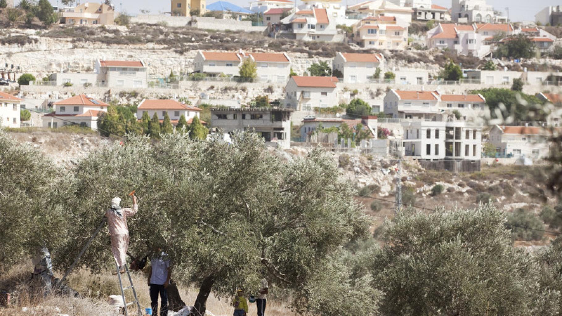 Eine palästinensische Familie bei der Olivenernte im Westjordanland.