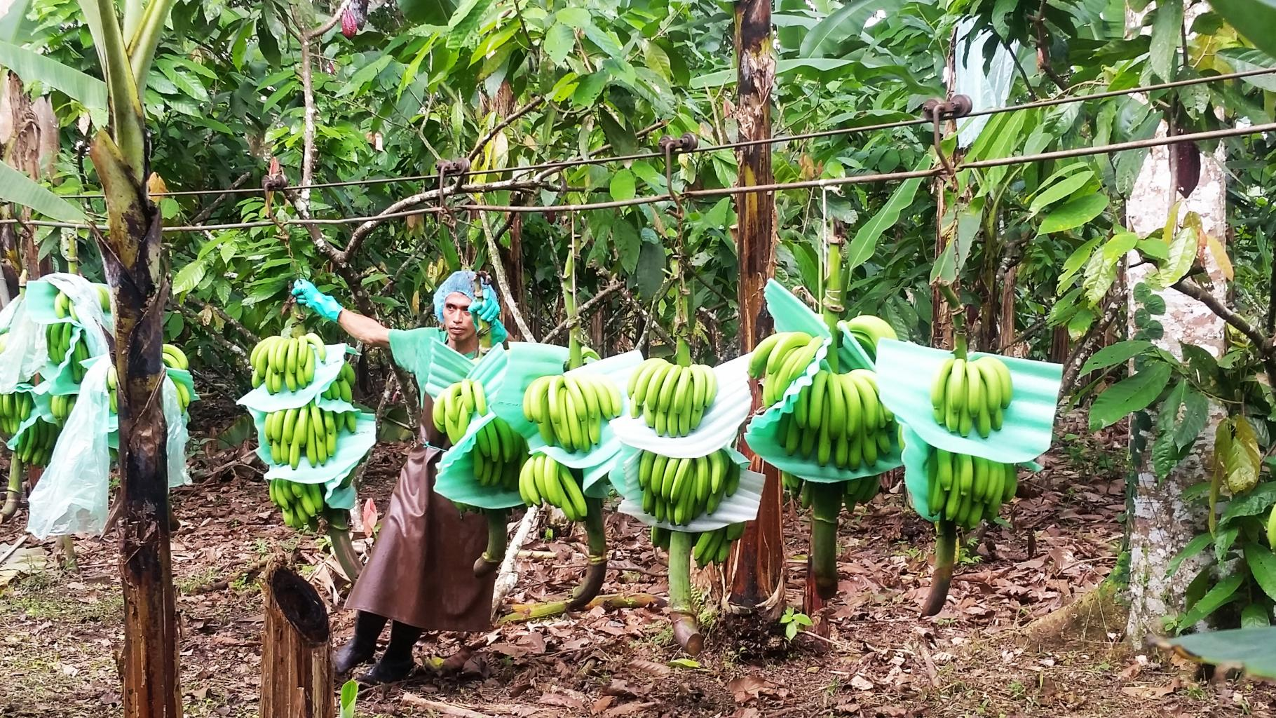 Bananenproduktion in Ecuador
