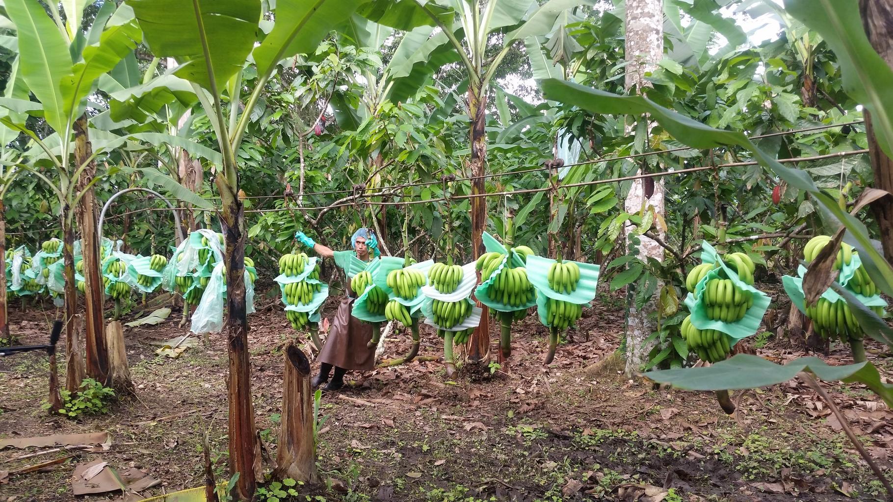 Ole besucht eine Bananen-Plantage
