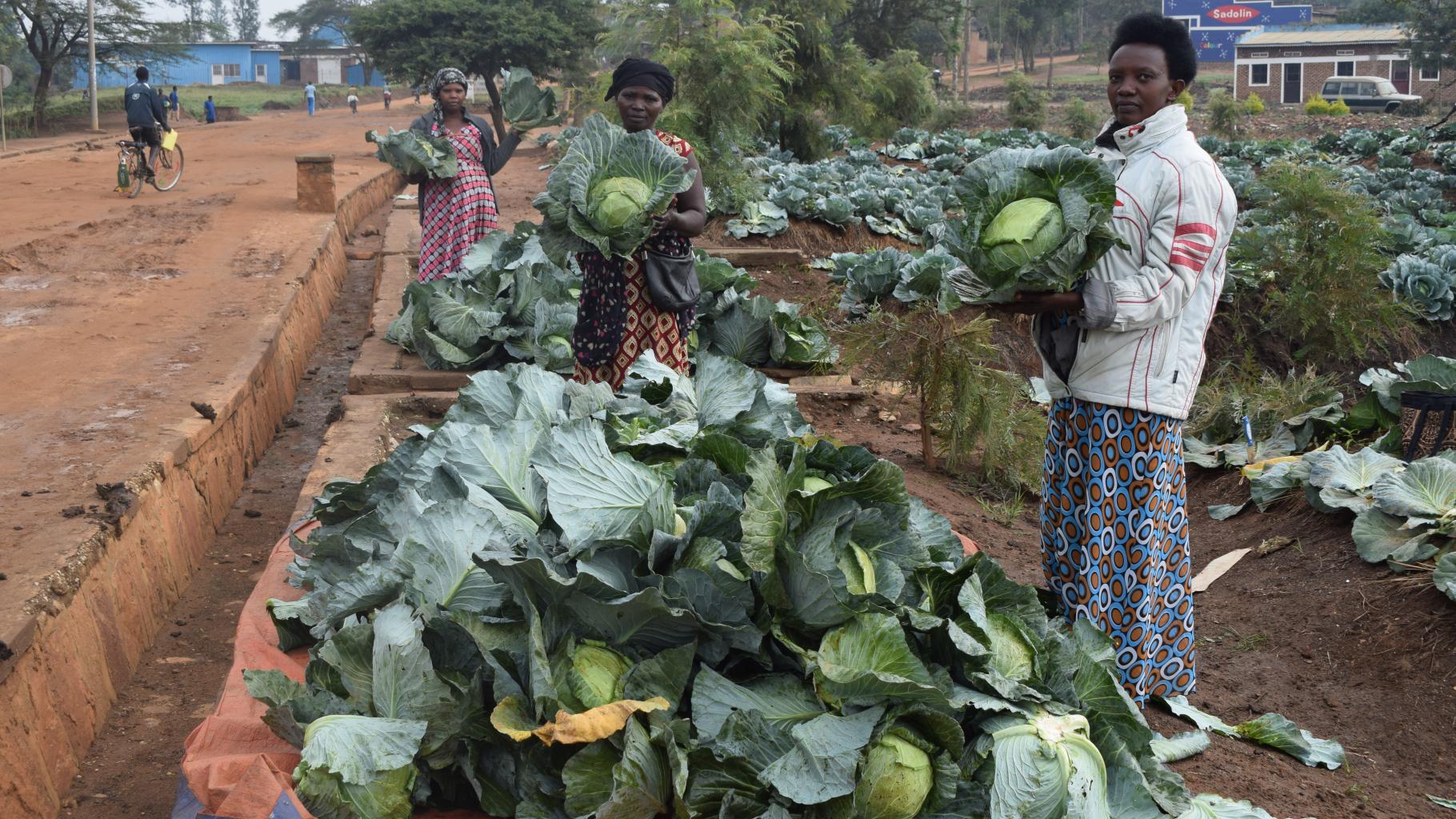 Mitglieder der kleinbäuerlichen Kooperative in Nyagatare bei der Ernte auf ihrem Kohlfeld.