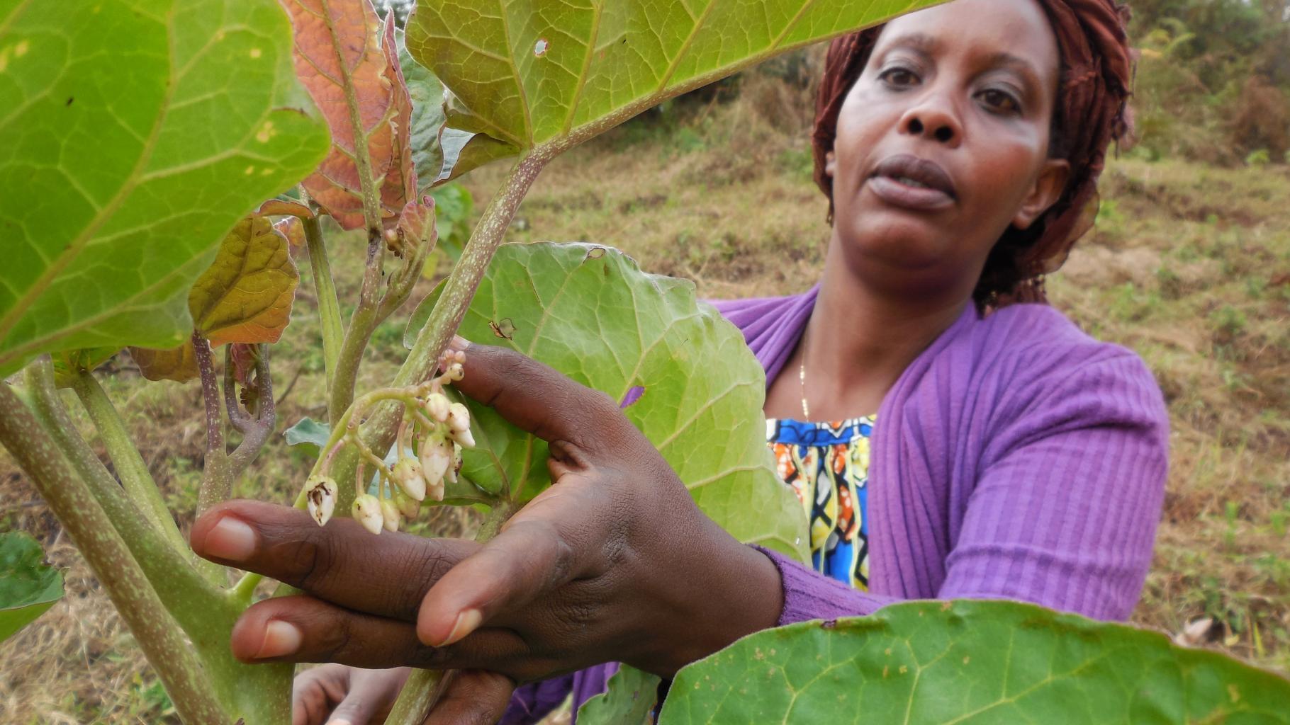 EIne Frau aus Itombwe schaut sich die Blüten an einem Tamarillo-Obstbaum an.
