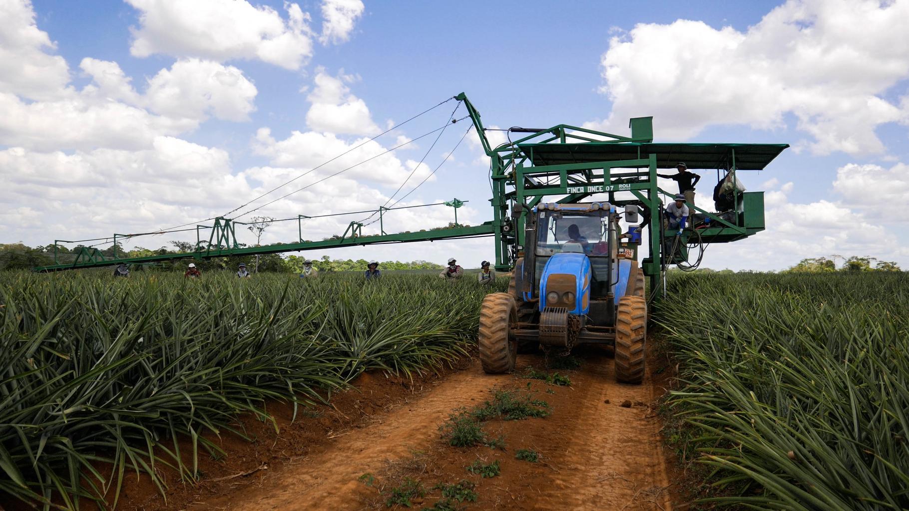 Arbeiter auf einem Traktor und im Feld einer Ananasplantage