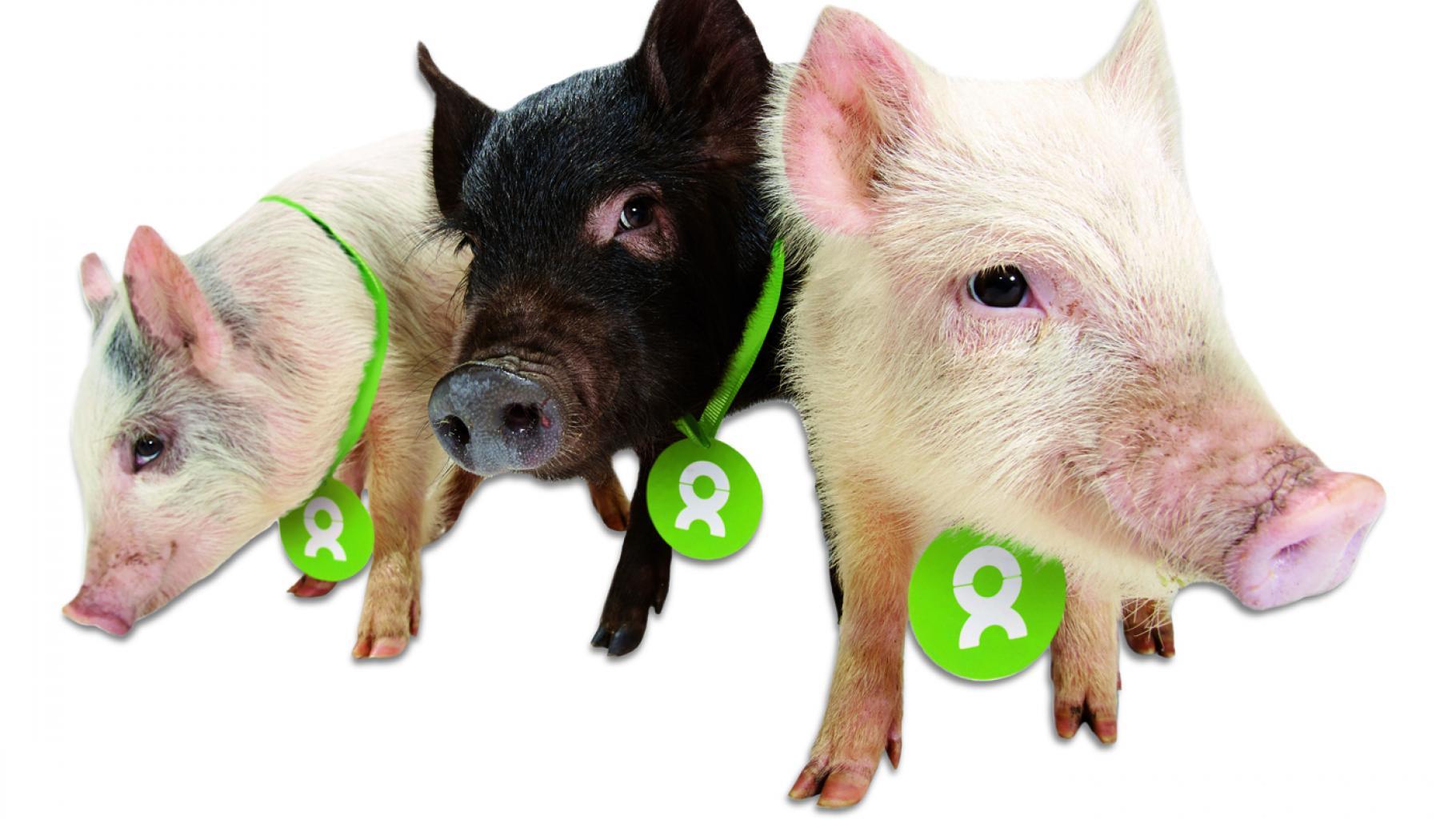 Glücksschweine zur Hochzeit